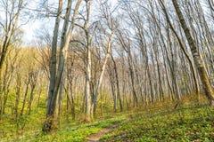 Ambiti di provenienza di legno verdi di luce solare della natura Foresta verde della sorgente Immagine Stock