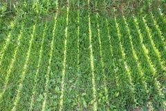 ambiti di provenienza di estate con erba verde Immagini Stock Libere da Diritti