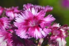 Ambiti di provenienza 03 immagini del primo piano del fiore di fioritura rosa bianco e scuro Fotografie Stock