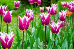 Ambiti di provenienza porpora dei tulipani all'aperto. Immagini Stock Libere da Diritti