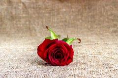 Ambiti di provenienza romantici della rosa rossa, giorno di madri, invito di nozze, carte di anniversario Fotografie Stock