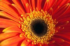 Ambiti di provenienza rossi del fiore Fine in su Fotografia Stock Libera da Diritti
