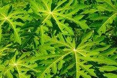 Ambiti di provenienza tropicali delle foglie verdi Fotografia Stock Libera da Diritti