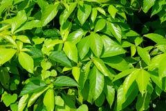 Ambiti di provenienza tropicali delle foglie verdi Fotografia Stock