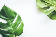 Ambiti di provenienza tropicali reali delle foglie su bianco Concetto botanico della natura fotografia stock