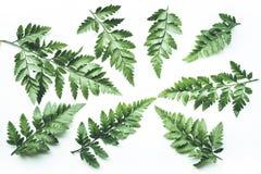 Ambiti di provenienza tropicali reali delle foglie su bianco Concetto botanico della natura immagini stock
