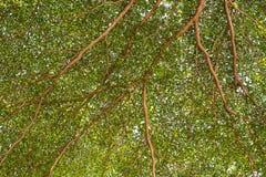 Ambiti di provenienza verdi degli alberi forestali Immagine Stock