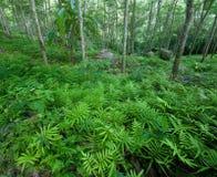 Ambiti di provenienza verdi della natura degli alberi forestali. Gomma del lattice Immagine Stock