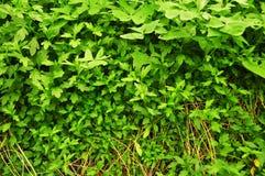 Ambiti di provenienza verdi organici reali delle verdure immagini stock