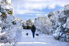 Amble through Winter Wonderland. Man and his two dogs amble through a New Mexico winter wonderland.  Road is covered with snow as are the trees.  Morning sky Stock Images