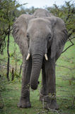 Ambling elephant Stock Photos
