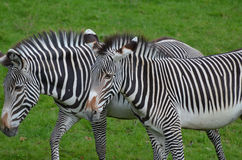 Ambling Pair of Zebras Walking Together in a Field Stock Image
