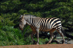 Ambling Zebra Royalty Free Stock Photography