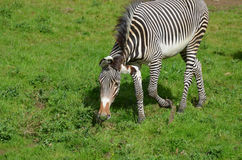 Ambling Zebra in a Large Grassy Field Stock Photography