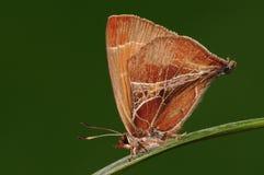 Amblopala avidiena/fjäril Arkivbild
