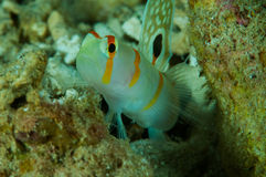 Amblyeleotris-randalli, randall Garnele Goby in Gorontalo, Indonesien-Unterwasserfoto Lizenzfreie Stockbilder