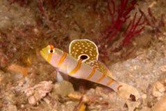 amblyeotris shrimpgoby randall的randalli s 库存照片