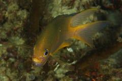Amblyglyphidodon áureo - damsel dourado Foto de Stock Royalty Free