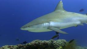 Amblyrhynchos di Grey Reef Shark Carcharhinus che fanno i cerchi vicino alla scogliera in Oceano Indiano stock footage