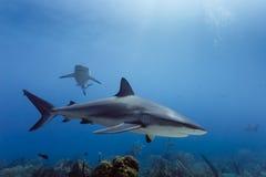 Amblyrhynchos grandes del Carcharhinus de los tiburones del filón que nadan sobre el arrecife de coral Imagen de archivo
