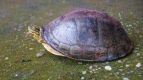 Amboina Box Turtle on concrete. Stock Images