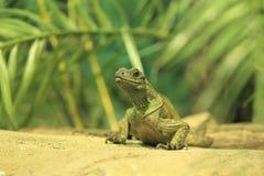 Amboina Sail Finned Lizard Royalty Free Stock Image