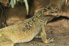 Amboina sailfin lizard Stock Photo
