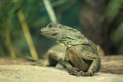 Amboina Sailfin Lizard Royalty Free Stock Photography