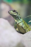 Amboina sailfin lizard Royalty Free Stock Photo
