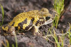 Amboli toad - Xanthophryne tigerina is a species of amphibian endemic to the Western Ghats of India. India Stock Image