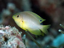 Ambon damsel Royalty Free Stock Photography