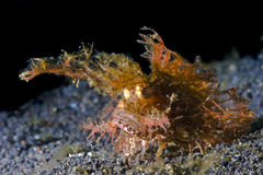Ambon Scorpion fish underwater on black sand Royalty Free Stock Photos