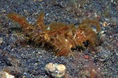 Ambon scorpionfish Royalty Free Stock Photos