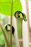 ambony roślina obraz royalty free