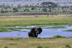 Amboseli大象  肯尼亚,非洲 免版税图库摄影