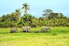 Amboseli大象 免版税库存图片