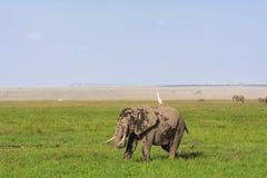 Amboseli是大象国家 大象和苍鹭 肯尼亚,非洲 库存图片