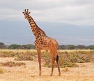 amboseli长颈鹿肯尼亚国家公园 免版税库存图片