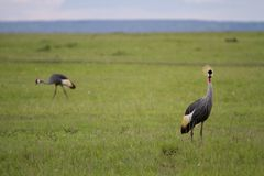 Amboseli Egyptian Cranes Royalty Free Stock Images