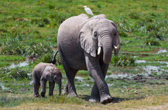 Amboseli elephant & bird. Mama elephant looking at us to make sure we won't harm her baby. Time to go Royalty Free Stock Photography