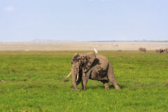 Amboseli are elephants country . Elephant and heron in the savanna. Kenya, Africa stock photos