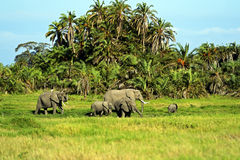 Amboseli elephants Royalty Free Stock Image