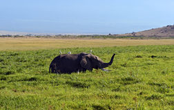 Amboseli elephants Stock Image