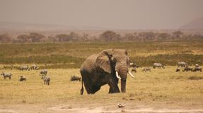 Amboseli elli 3,04 Royalty Free Stock Images
