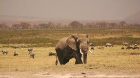 Amboseli elli 3.04 Lizenzfreie Stockbilder