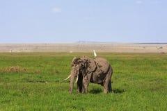 Amboseli jest słonia krajem Kenja Zdjęcia Stock