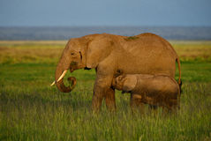 Amboseli national park. Group of elephants with nice background in Amboseli national park, Kenya Stock Photo