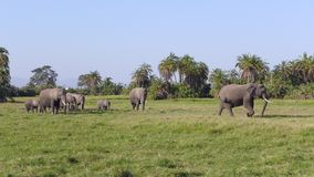 Amboseli national park, next to MT. Kilimanjaro Royalty Free Stock Images