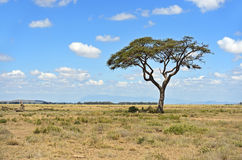Amboseli National Park Stock Images