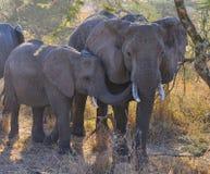 amboseli słoni rodzinny Kenya park narodowy Fotografia Royalty Free